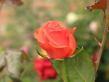 Small orange rose. Small orange flower rose on a flowerbed stock photos