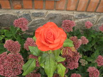 Small orange rose. Small orange flower rose on a flowerbed royalty free stock images