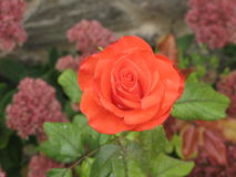 Small orange rose. Small orange flower rose on a flowerbed stock photography