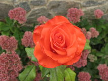 Small orange rose. Small orange flower rose on a flowerbed royalty free stock photos