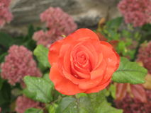 Small orange rose. Small orange flower rose on a flowerbed royalty free stock photo