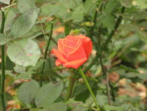 Small orange rose. Small orange flower rose among green leaves royalty free stock photo