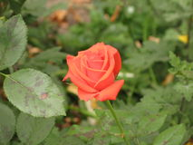 Small orange rose. Small orange flower rose among green leaves royalty free stock photography