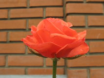 Small orange rose. Small orange flower rose near a new brick wall stock photography