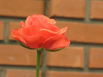 Small orange rose. Small orange flower rose near a new brick wall royalty free stock images