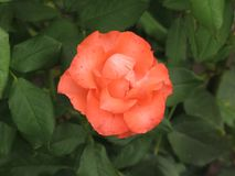Small orange rose flower. On the bush in the autumnal garden flowerbed stock photography
