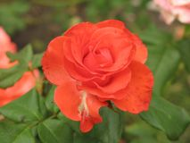 Small orange rose flower. On the bush in the autumnal garden flowerbed royalty free stock photos