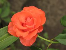 Small orange rose flower. On the bush in the autumnal garden flowerbed royalty free stock image