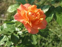 Small orange rose flower. On the bush in the autumnal garden flowerbed royalty free stock photography
