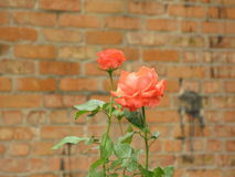 Small orange rose. Small orange flowers of rose near an old brick wall stock photos