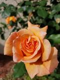 Small orange rose. Orange rose green leaves royalty free stock image