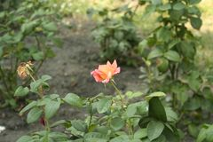 Small orange rose. Flower on the bush in the autumnal garden flowerbed royalty free stock photo