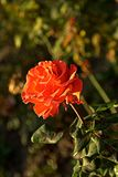 Small orange rose. Flower on the bush in the autumnal garden flowerbed, vertical shot stock image