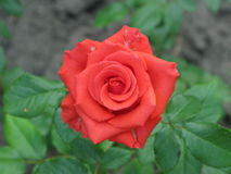 Small orange rose. A summer small orange rose flower on the flowerbed royalty free stock photos
