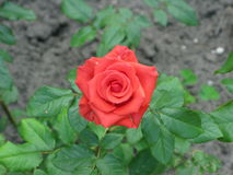Small orange rose. A summer small orange rose flower on the flowerbed stock photos