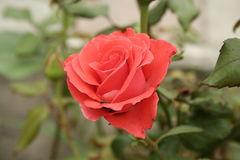 Small orange rose. A summer small orange rose flower on the flowerbed royalty free stock photography