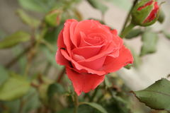 Small orange rose. A summer small orange rose flower on the flowerbed royalty free stock image