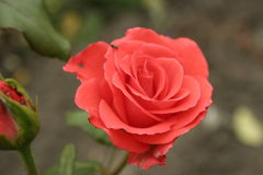 Small orange rose. A summer small orange rose flower on the flowerbed royalty free stock images