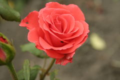 Small orange rose. A summer small orange rose flower on the flowerbed stock photography