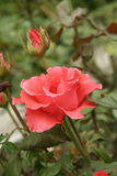 Small orange rose. A summer small orange rose flower on the flowerbed, vertical shot royalty free stock photo