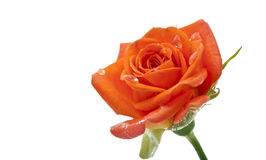 Small orange roses isolated Stock Image