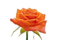 Small orange roses isolated Stock Photos
