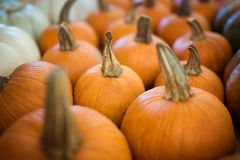 Thanksgiving Orange Pumpkins royalty free stock image