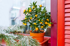 Small orange tree in flowerpot. Selective focus Stock Photo