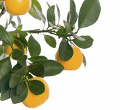 Small orange on tree isolated - macro. Isolated oranges on tree with leafs royalty free stock photos