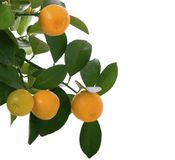 Small orange on tree isolated - macro Stock Photos