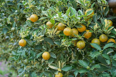 Small orange tree in orange farm Stock Photos
