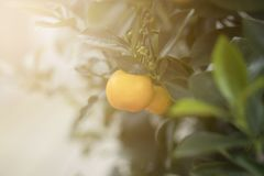 Small orange on the tree. royalty free stock photography