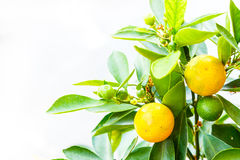 Small orange on tree Royalty Free Stock Photos