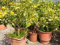 Small Orange Trees in Pant Nursery Stock Photos