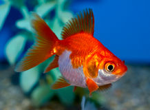Small Orange and white Ryukin goldfish Royalty Free Stock Photos