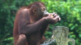 Small Orangutan Pongo pygmaeus Eating Coconut. Endangered Endemic Borneo Animal