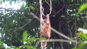 Small Orangutan Pongo pygmaeus Hanging on Liana. Endangered Endemic Borneo Animal
