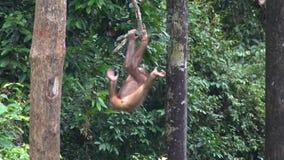 Small Orangutan Pongo pygmaeus Hanging on Liana. Endangered Endemic Borneo Animal. Small Orangutan Hanging on Liana shot with a Sony a6300 fps29,97 4k stock video