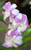 Small orchid blooming. Beautiful small orchid blooming in the plant market Stock Image