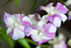 Small orchid blooming. Beautiful small orchid blooming in the plant market Royalty Free Stock Images