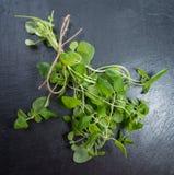 Small Oregano Plant Stock Images