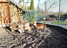Small ornamental deer in the pen stock photos