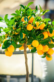 Small ornamental tangerine tree Royalty Free Stock Photography