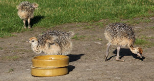 Small ostrich. At the trough stock photography