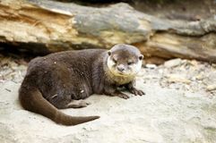 Small otter stock image