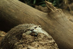 Small otter hiding behind a rock. Small wet otter hiding behind a rock, bored Stock Photography