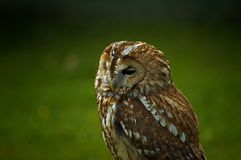 Small owl. A small owl in its natural habitat royalty free stock photos