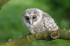 Small owl Royalty Free Stock Photo