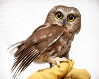 Small owl on hand. A small injured owl standing on a gloved hand Stock Photo