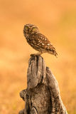 Small owl in the nature Royalty Free Stock Photography